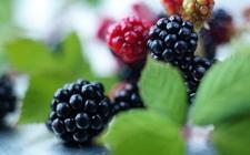 黑莓怎么繁殖?黑莓的扦插繁殖技术