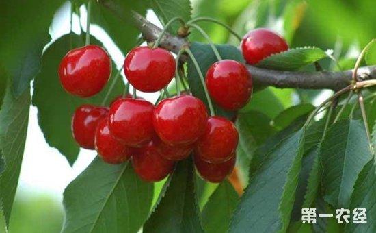 樱桃树种植 夏季樱桃树的管理技术要点图片