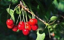 樱桃树种植:夏季樱桃树的管理技术要点
