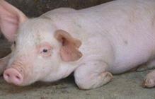 猪吃料呕吐的原因是什么?