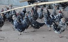 最新实用于贵妃鸡养殖的四种鸡舍建设类型是什么?