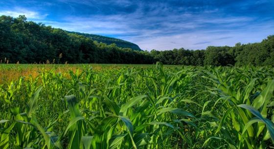国家粮食局:玉米收储制度改革见成效 种植面积调减三千万亩