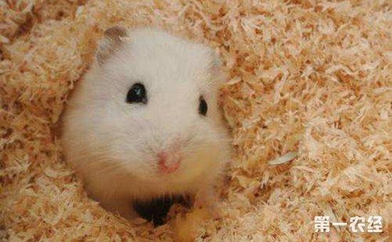 农经网 农业科技 养殖技术       仓鼠的可爱自然不用多说,不过你可