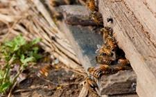 夏季蜂群群势多下降该怎么办?蜜蜂养殖的夏季管理要点
