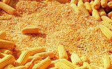 """国家粮食局:东北地区玉米收购工作圆满结束 打响玉米收储制度改革硬仗""""第一枪"""""""