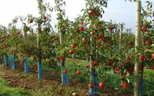 夏季如何管理新栽苹果树?夏季新栽苹果树科学