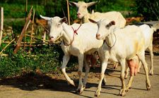 奶山羊产奶量如何提高?四个有效提高奶山羊产奶量的新思路