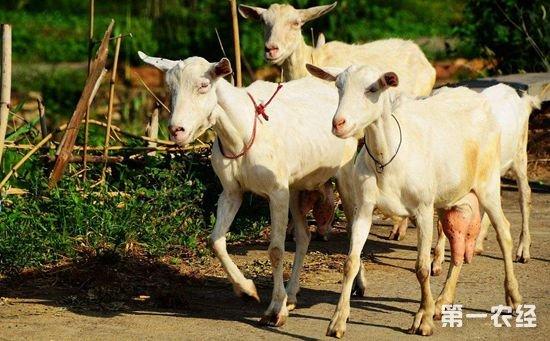奶山羊养殖技术