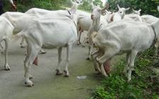 奶山羊养殖 怎么给奶山羊催奶