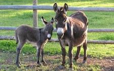 驴得了破伤风怎么办 驴得了破伤风的治疗方法