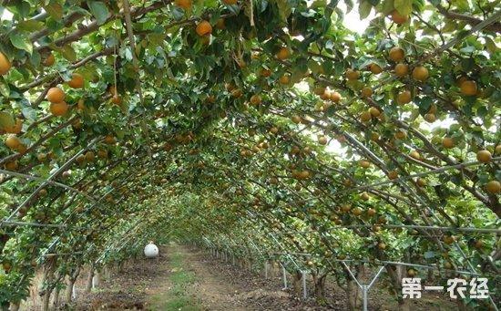 夏季梨树果园该怎么管理?梨树果园的夏季管理技术