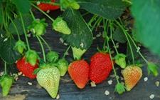 草莓种植不开花怎么办?促进草莓花芽分化的技