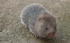 竹鼠养殖 竹鼠怀孕的识别