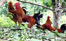 育成期土鸡生态养殖的四个饲养管理新原则是什么?