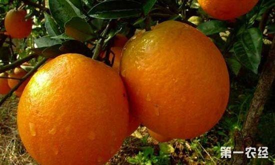 中国哪里的脐橙最好?中国脐橙四大基地