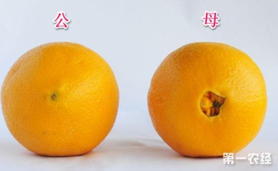 脐橙分公母吗?如何辨别脐橙的公母?