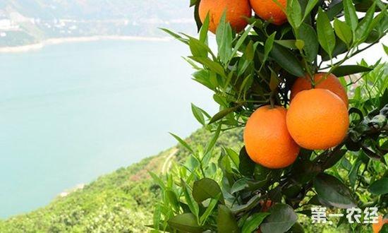 脐橙之乡是指哪里?中国最有名的脐橙之乡