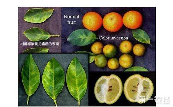 如何辨别脐橙黄龙病?黄龙病的最新防治方法