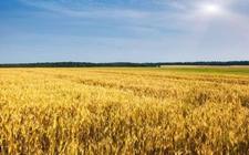 山西:小麦单产量创新高纪录
