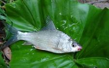 鲮鱼怎么养 鲮鱼的养殖技术