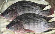 福寿鱼怎么养 福寿鱼的养殖技术