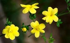 迎春花和连翘花该如何区别?