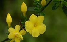 迎春花的特点有哪些?迎春花的特点介绍