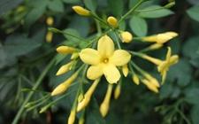 迎春花的品种有哪些?不同品种的迎春花辨别