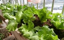 阳台上怎么种叶莴苣?阳台种植叶莴苣的方法介