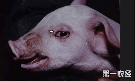 不仅对猪气喘病有较高的疗效,而且对猪流感,仔猪黄痢,白痢,副伤寒