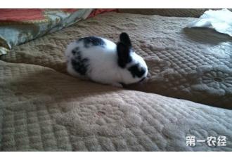 公主兔和熊猫兔的区别?
