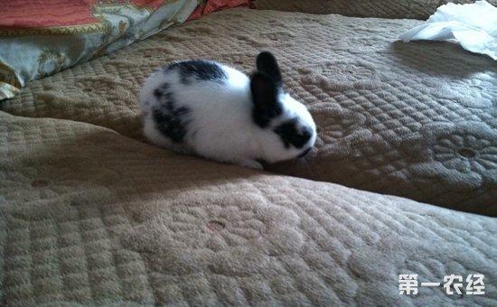 眼:兔的眼球呈圆形,单眼视角180°,所以兔用单眼看东西。兔的品种不同、毛色不同,其眼的颜色也不同。兔子的眼睛有:红色,蓝色,黑色,灰色等各种颜色,也有的兔子左右两只眼睛的颜色不一样。因为兔子是夜行动物,所以它的眼睛能大量聚光,即使在微暗处也能看到东西。另外,由于兔子的眼睛长在脸的两侧,因此它的视野宽阔,对自己周围的东西看得很清楚,有人说兔子连自己的脊梁都能看到。不过,它不能辨别立体的东西,对近在眼前的东西也看不清楚。兔子眼睛的颜色与它们的皮毛颜色有关系,黑兔子的眼睛在灯光下是红色的,灰兔子的