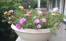 太阳花种植:太阳花种子种植方法