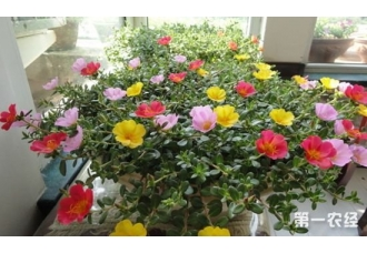 太阳花是向日葵吗?太阳花和向日葵的区别