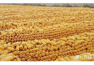 玉米收储制度改革提速 收购新格局正在形成