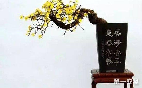 迎春花盆景有多美?绝品迎春花盆景欣赏(图片)