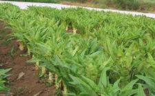 莴笋种植:莴笋套种甜脆玉米的种植技术