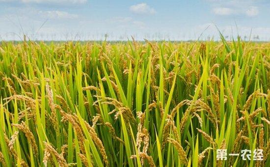 水稻怎么施用硅肥?水稻施用硅肥的作用和方法介绍
