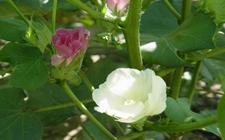 棉花种植:6月份棉花种植的管理技术要点