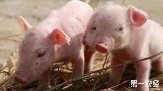 """农经网 养猪网 养猪技术       """"小猪刚出生时是重点保护时期,此时"""