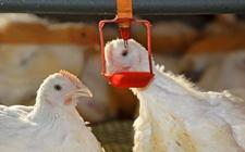 """蛋鸡饮水有何学问?蛋鸡饮水三高峰科学供水的""""三技巧"""""""