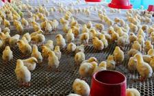 如何科学饲养管理土鸡雏鸡?土鸡雏鸡科学饲养管理的七项新原则