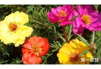 太阳花品种有哪些?太阳花品种大全