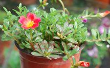种太阳花用什么盆?盆栽太阳花怎么养?