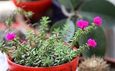太阳花怎么繁殖?太阳花扦插繁殖法