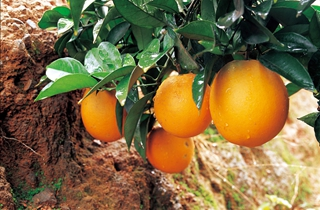 【脐橙专题】脐橙种植技术|脐橙产业动态