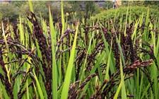华南农大:培育出含有花青素的抗氧化转基因紫米