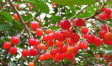 大棚樱桃夏季要注意哪些?夏季大棚樱桃种植的管理技术要点