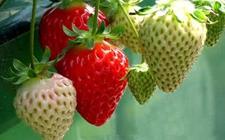 草莓种植:草莓引种需要注意的问题介绍