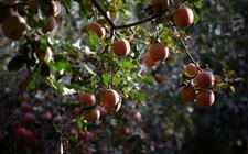 苹果树种植:夏季苹果园的抗旱保果技术要点